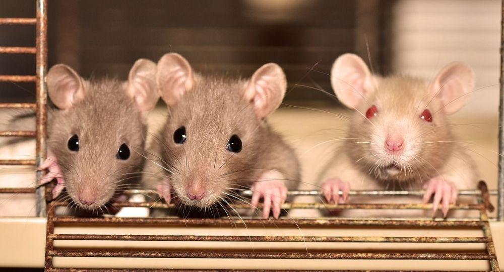 три бежевых крысы