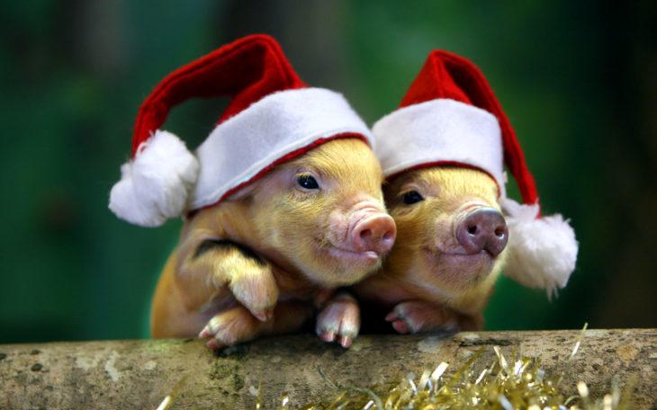 2 свинки