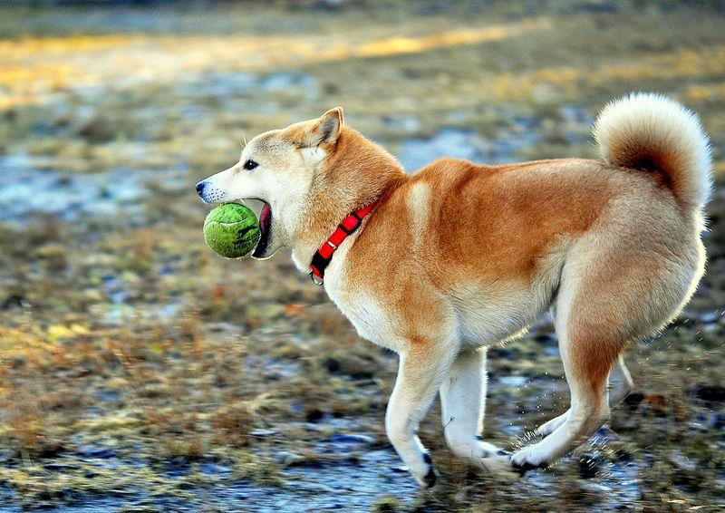 Фото собаки породы Сиба Ину