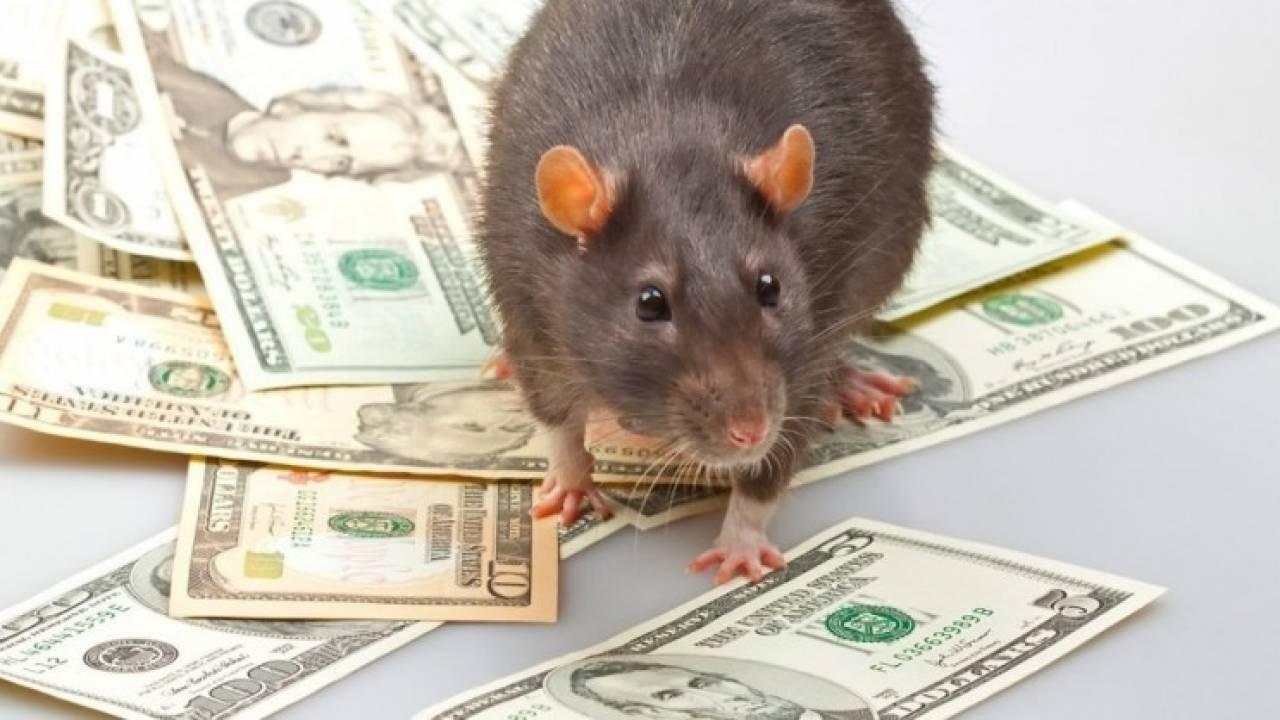 крыса стоит на деньгах