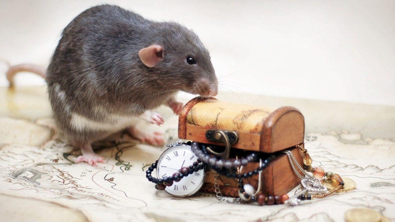 крыса и сундук с сокровищами