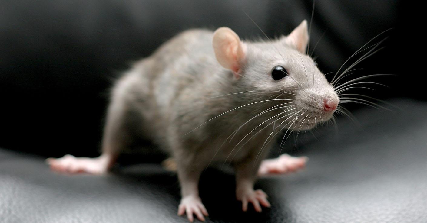 красивая серая крыса
