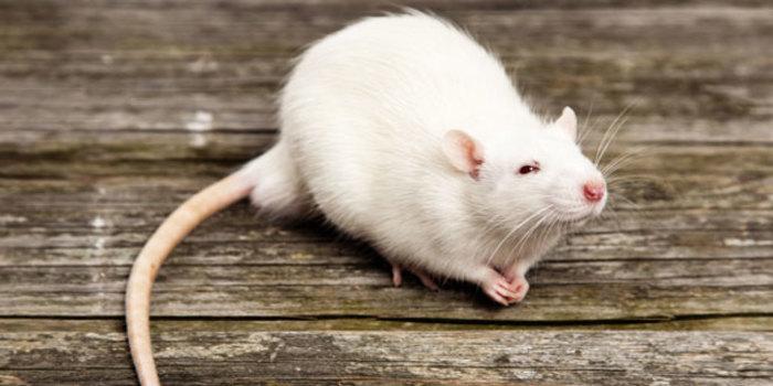 белая пушистая крыса